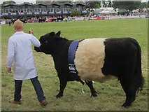 NT1472 : Champion Belted Galloway at the 2014 Royal Highland Show by Graham Robson