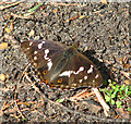 TM4078 : Purple Emperor (Apatura iris) butterfly - basking in the sun by Evelyn Simak