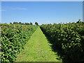 SJ4053 : Raspberry Crop at Holt by Jeff Buck