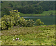 NY3404 : Grazing land by Loughrigg Tarn by Nigel Brown