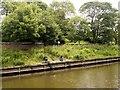 SE5852 : River Ouse, East Bank near Clifton Bridge by David Dixon