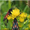 TA1281 : Burnet moths feeding on ragwort by Pauline E