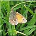TA1281 : Meadow brown butterfly by Pauline E