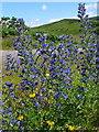 NR6738 : Viper's bugloss (Echium vulgare) by sylvia duckworth