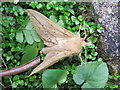 SJ3664 : The Drinker moth - Euthrix potatoria (1) by John S Turner