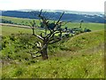 SK0683 : Twisted tree above  New House Farm by Graham Hogg