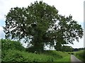 SU6126 : Tree alongside the road called Brockwood Bottom by Christine Johnstone