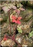 TQ0950 : Vegetation on a flint cobble wall, Briary Hill (2) by Stefan Czapski