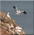 TA2073 : Young Gannet, Bempton Cliffs, Yorkshire by Christine Matthews
