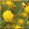 SE6670 : Plasterer bee gathering nectar, Yorkshire Lavender Farm by Pauline E