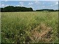 SU6328 : No longer yellow - ripening oil seed rape crop by Christine Johnstone