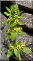 SK1481 : Crosswort (Cruciata laevipes) by Anne Burgess