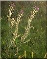 SK1483 : Thistles near Castleton by Derek Harper