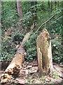 ST5760 : Fallen trees on Denny Island by ErrolEdwards