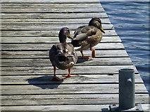 H1860 : Ducks, Tom's Island by Kenneth  Allen