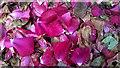 NT0299 : Fallen rose petals by William Starkey
