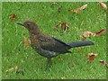 ST3086 : Garden visitor: Male Blackbird by Robin Drayton