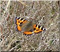 NU1004 : Small Tortoiseshell (Aglais urticae) by Russel Wills