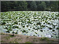 TQ2272 : Waterlilies on Queens Mere by David Howard