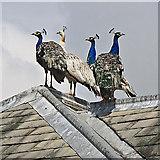 SE7170 : Peacock gathering by Pauline E