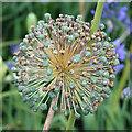 SE7169 : Allium seedhead by Pauline E