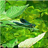 SU3227 : Damselfly, River Test, Mottisfont, Hampshire by Brian Robert Marshall
