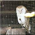 SH8081 : White Breasted Barn Owl (Tyto alba alba) by Gerald England