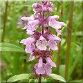 SO7943 : Orchid-like wild flowers by Jonathan Billinger