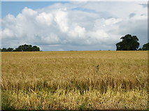 X0096 : Wheatfield north of Tallow by David Purchase