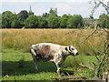 SP5105 : Longhorn cow in Christ Church meadow by David Hawgood
