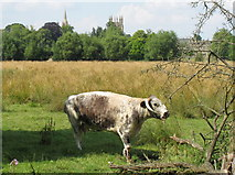 SP5105 : Longhorn cow in Christ Church meadow by David Hawgood