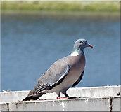 J3473 : Wood pigeon, River Lagan, Belfast (July 2014) by Albert Bridge