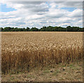 TM0693 : Wheat crop field south of Bunn's Bank by Evelyn Simak