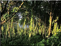 SX9265 : Woodland, Oddicombe Beach Hill by Derek Harper