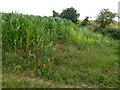 TF7735 : Maize near Halfway Plantation, Docking by Richard Humphrey