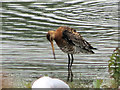 SP9314 : A Black-tailed Godwit on the Marsh at College Lake by Chris Reynolds