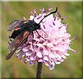 NJ8267 : Burnet Moth on Devil's Bit Scabious by Anne Burgess