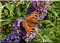 NS3206 : Small Tortoiseshell Butterfly by Mary and Angus Hogg