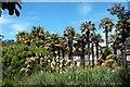 NX0942 : Chusan palms (Trachycarpus fortunei) by Tiger