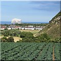 NT5584 : Cabbages, North Berwick by Richard Webb