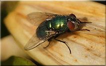 SJ3999 : The greenbottle fly Lucilia sericata, Waddicar, Melling by Mike Pennington