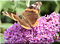 J4371 : Red admiral and buddleia, Comber Greenway (August 2014) by Albert Bridge