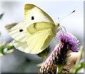J4372 : Butterfly, Comber Greenway (August 2014) by Albert Bridge