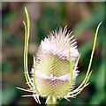 SJ9594 : Teasel (close-up) by Gerald England