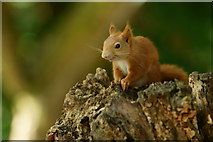 SZ5885 : Juvenile Female Squirrel by Peter Trimming
