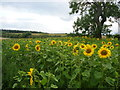 NT5371 : Rural East Lothian : Sunflowers Near The Cockles by Richard West