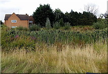 SP2031 : Reeds in a ditch at the edge of hospital grounds in Moreton-in-Marsh by Jaggery