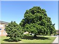 SX9391 : Two Lucombe oak trees at County Hall, Exeter by David Smith