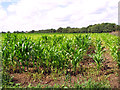TM1679 : A crop of maize by Evelyn Simak