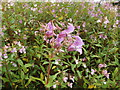 SH7961 : Rosebay willowherb beside the Afon Conwy by Richard Hoare